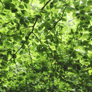 Fagus Suentelensis - Sabine Schröter | Baum Blätter Blattwerk Botanik grün kräftig modern Mural Natur Pflanzen Wald Wandgestaltung