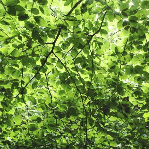 Fagus Suentelensis - Sabine Schröter   Baum Blätter Blattwerk Botanik grün kräftig modern Mural Natur Pflanzen Wald Wandgestaltung