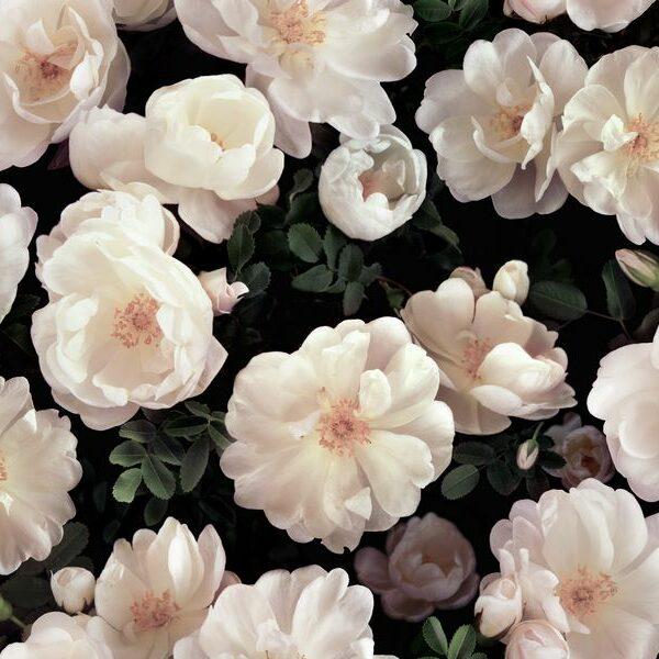 Finn Rose - Helene Ekblom | Blumen Blüten dunkel Garten Natur Pflanzen romantisch Rosen Trend